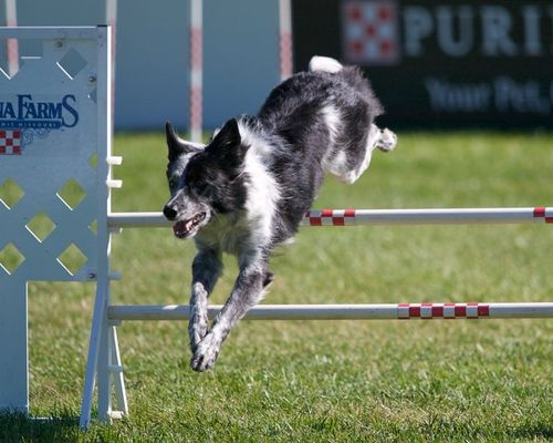 Razzle The Border Collie At The Pidc Wallpaper Probably Containing A Border Collie In The Dog Agility Club