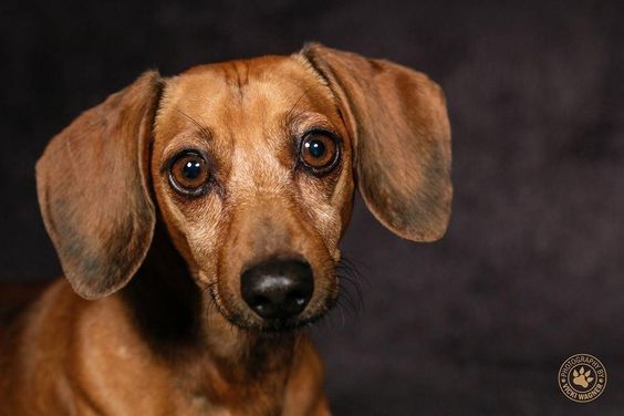 Buck is an adoptable Dachshund searching for a forever family near Cincinnati, OH. Use Petfinder to find adoptable pets in your area.