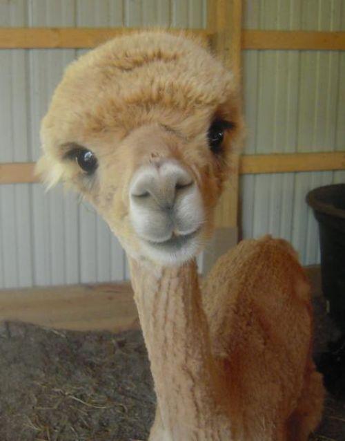 love alpacas