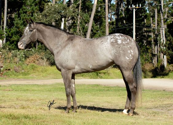 Tonks Tiger Lilly, an Appaloosa mare. The coloration is especially nice. The pattern might be something like roan but what's the base color? Sire seems to be black, dam is said to be a dun so Tonks Tiger Lilly could be a grulla.