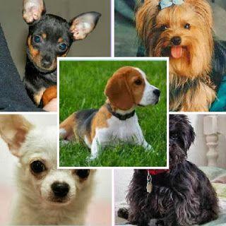 cachorros-para-apartamento