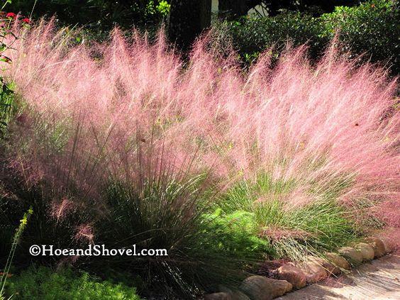 Muhlenbergia capillaris Muhly Grass