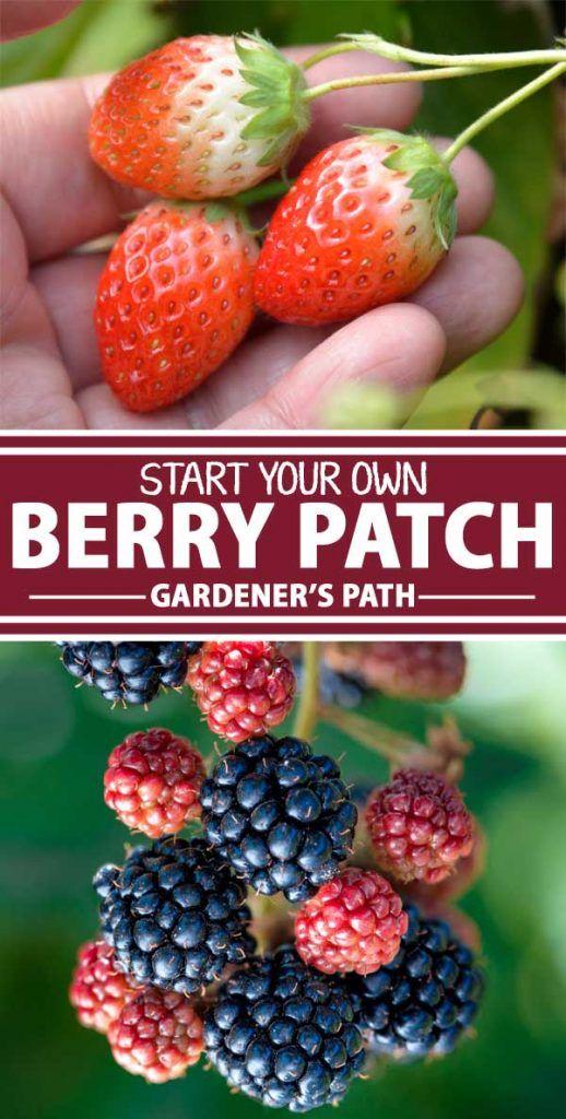 How To Grow Berries At Home Gardener S Path Berry Garden Growing Fruit Trees Fruit Garden