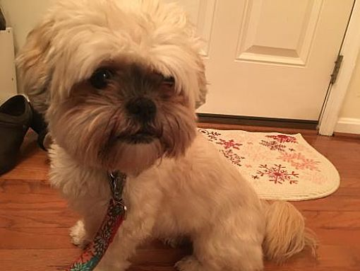 Centreville Va Shih Tzu Meet Maggie A Dog For Adoption