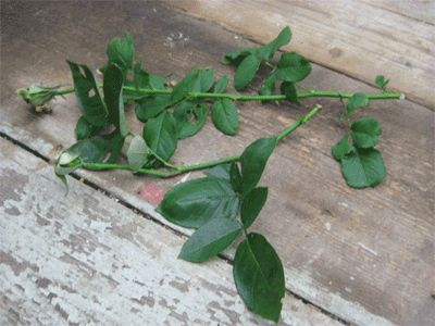 how to cut and grow a rose bush piece