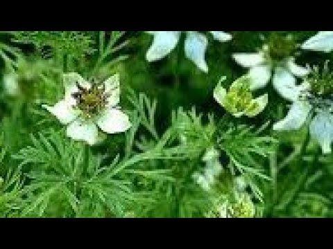 طريقة زراعة حبة البركة السانوج في المنزل بكل سهولة Youtube Vegetable Garden Design Mosquito Repelling Plants Tower Garden