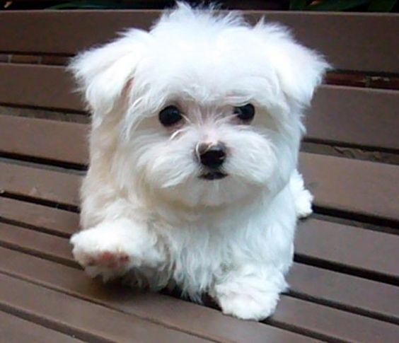 Maltese--- These are like the most adorable dogs EVER