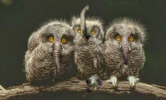 Un trío de encantadores búhos elefantes