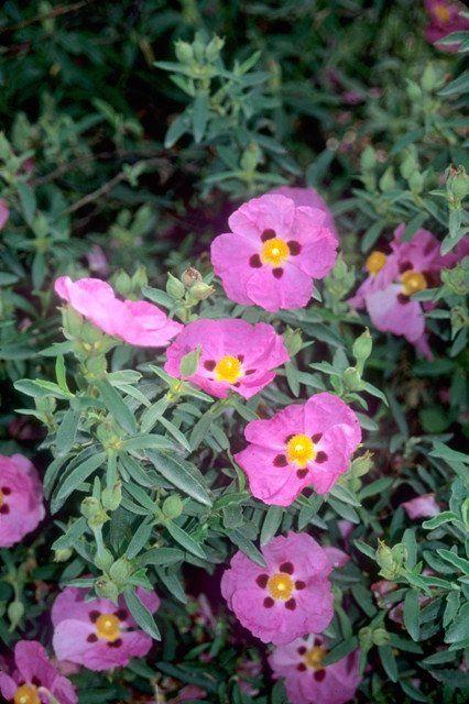 Learn about Cistus purpureus   Purple Rock Rose   Perennial Encyclopedia by Plant Delights Nursery