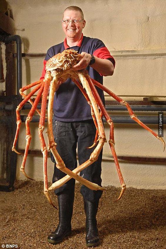 巨型蜘蛛蟹一定是來自噩夢中的生物,不相信嗎?看看這10個理由吧。 - boMb01