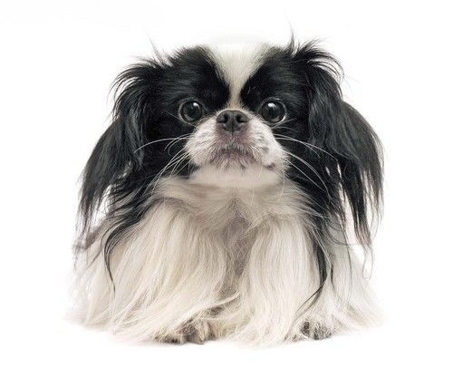 Did you know Japanese Chins actually originate from China? Find out more about the Japanese Chin on the BBS Breed Spotlight on this royal breed! #japanesechin #chin #japan #china #dogs #dogbreeds