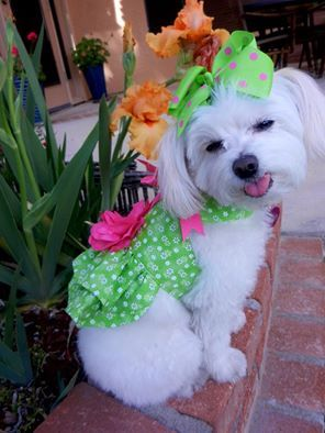 Zoe the Therapy Dog in a pretty spring outfit.