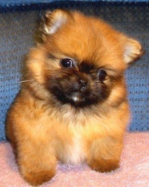 16 Pomeranian Mixes All Different Kinds Of Pomi Perfection Pom Dog Puppies Pomeranian Mix