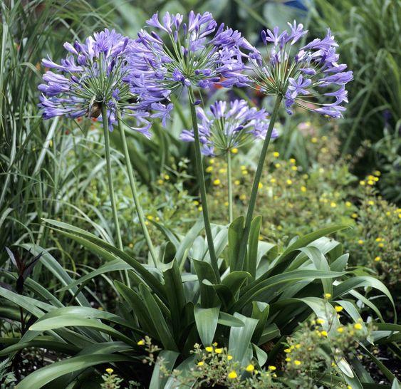 Fiche plante : Agapanthe