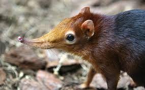 long eared jerboa - Google zoeken