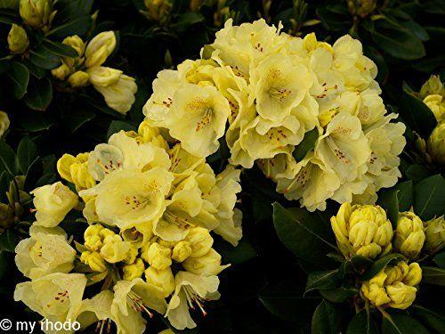 Alpenrose - Rhododendron Hybride Goldkrone®, 1 Pflanze im 5 Liter Topf 30 - 40 hoch, gelbe Blüte Dominik Gartenparadies http://www.amazon.de/dp/B00MUKPGT8/ref=cm_sw_r_pi_dp_plhevb1T0H46V