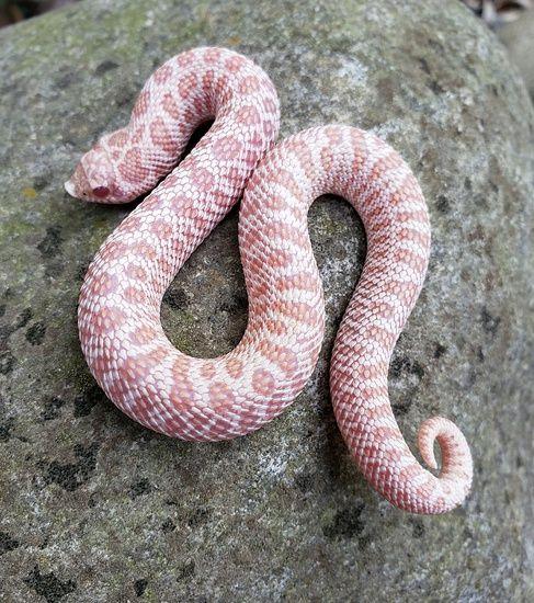 Super Arctic Albino Female Sub Zero High Pink Western Hognose By Jmgreptile Morphmarket Usa Hognose Snake Western Hognose Snake Pet Snake
