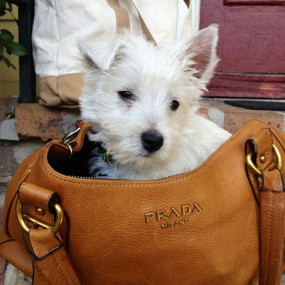 Reminds me of Laci as a puppy. I use to take her in the grocery store with me in my Louis Vuitton.