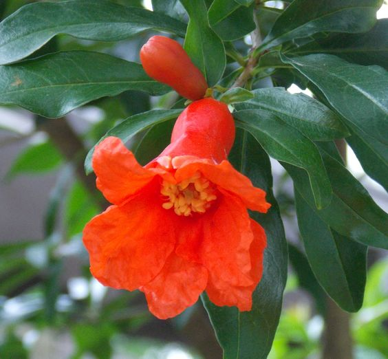 Pomegranate may produce fruit for first time in 2014.