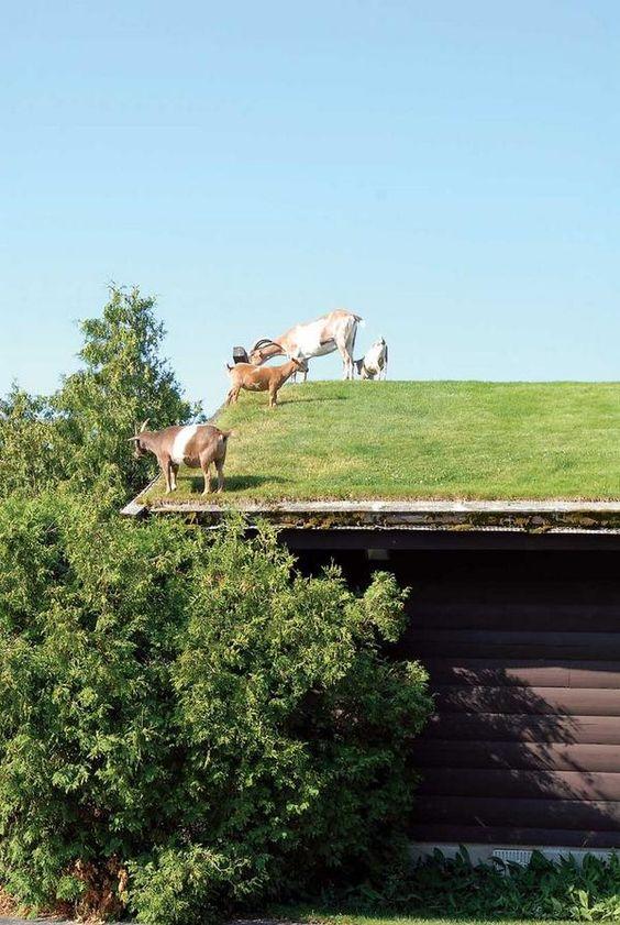 Vooruit met de geit, tijd voor meer #duurzaamheid op daken. @Benjijduurzaam @DuurzaamActueel @Natuurvisies #groendak