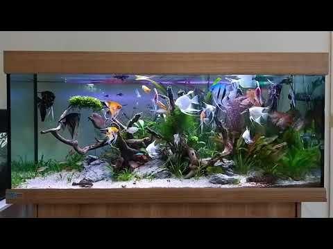 Angelfish Tank Tropical Aquarium Freshwater Tank Youtube Angel Fish Tank Community Fish Tank Tropical Aquarium
