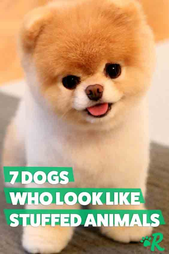 7 Dogs That Look Like Stuffed Animals So Much Cute Cute Animals Puppies Dogs Funny Animals
