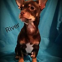 Pictures Of River A Chihuahua For Adoption In Hamilton On Who
