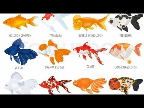 Goldfish All Types Of Goldfish In One Video Youtube Goldfish Types Goldfish Bubble Eye Goldfish