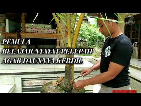 Belajar Mengkerdilkan Daun Bonsai Kelapa Kelapa Tak Terawat