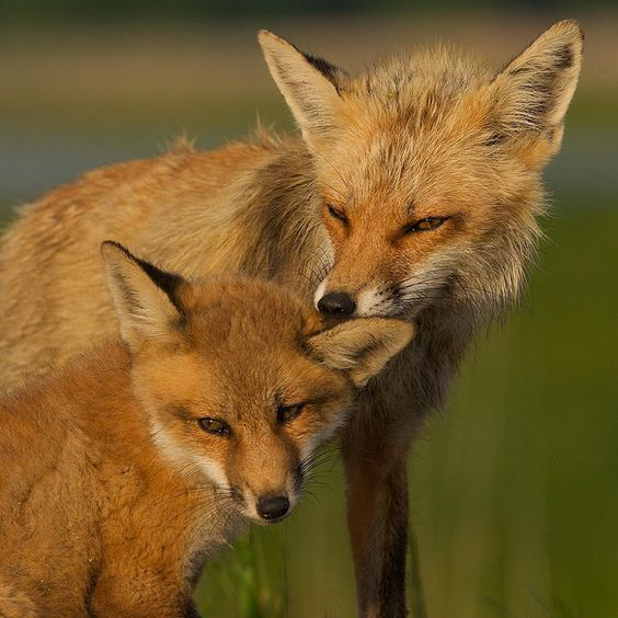 images of red foxes | red fox mother and child - Animals Time