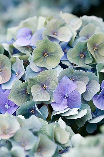 I SO LOVE these flowers ... blue, pink, green, white & any variation in between.