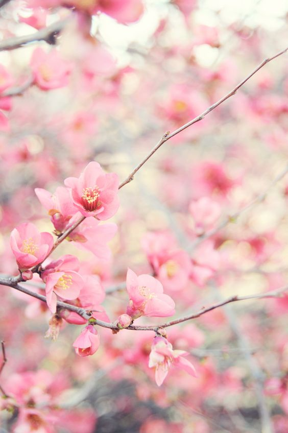 Quince Blossoms   Photography by Ez Pudewa