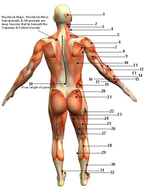And here we have a diagram showing all the places I hurt today - muscle chart template