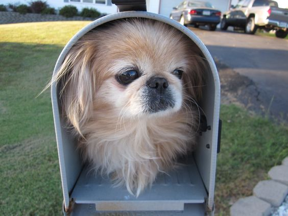 Special delivery peke.