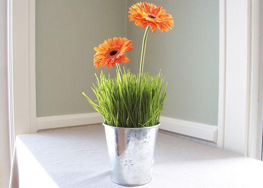how to grow gerberas in pots