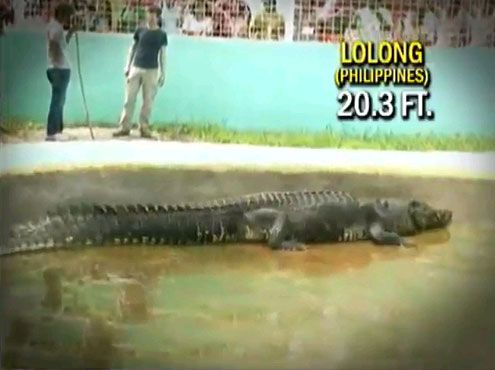 Lolong Holds The Guiness Book Of World Records Largest - Meet worlds largest crocodile caught philippines