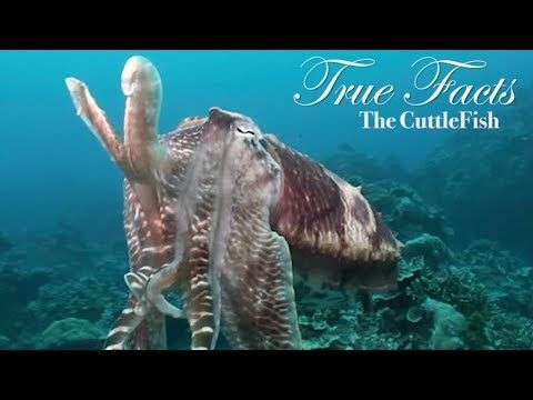 True Facts of the Day: The Cuttlefish