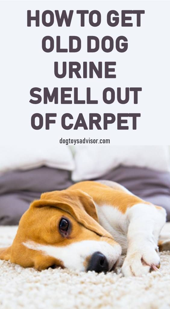 How To Get Dog Urine Smell Out Of Carpet Carpet Carpetcleanerfordogurine Dog Smell Uri Dog Urine Dog Pee Smell Dog Pee On Carpet