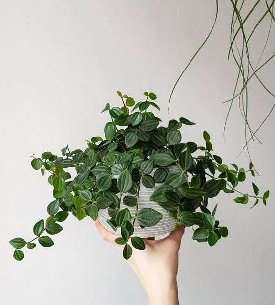 Peperomia, indoor house plant safe for cats and dogs.