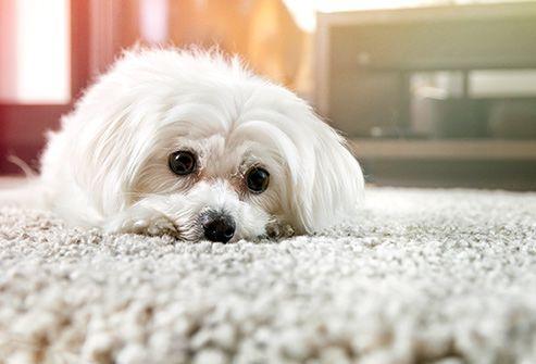 Maltese Dog Resting On The Carpe