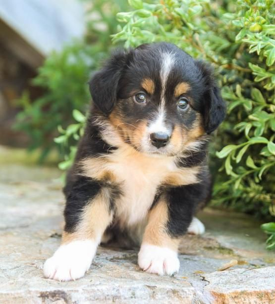 Faye Mini Australian Shepherd Puppy For Sale In Blain Pa