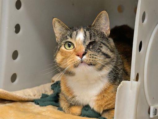 Austin Tx Domestic Shorthair Meet Tilli A Pet For Adoption In 2020 Pet Adoption Cat Adoption Pets