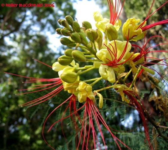 Texas Bird Of Paradise - Small Tree Grows In Rocky Dry Hot -3930