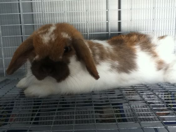 Cute holland lop bunny:my bunny lays down just like that