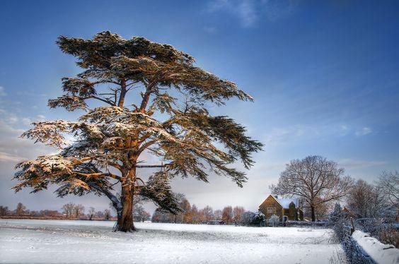 Cedar tree in the snow by Chris Spracklen on 500px