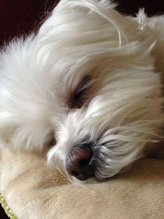 Cachorrospequenos Perro Maltes Perros Bichon Maltes Mascotas Pequeñas