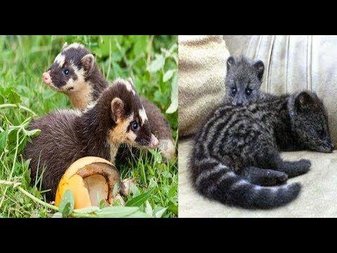 Lucu Nya Musang Rase Dan Musang Biul Berebut Makanan Siapa Yang Kalah Binatang Afrika Lucu