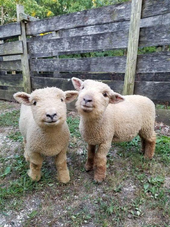 baby doll sheep. George and Thomas. #babydollsheep #sheep #animalfriendship #smiles