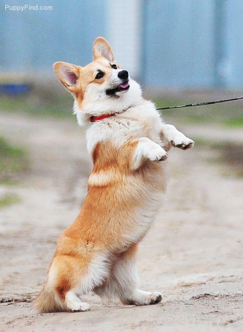 Puppies For Sale At Puppyfind Com Corgi Puppies For Sale Corgi Puppies