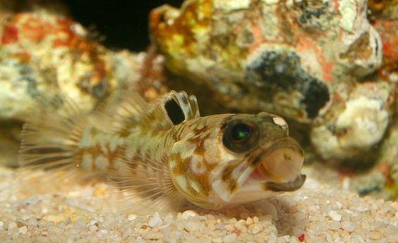 Bullaugen-Kieferfische